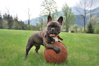 french-bulldog-2365684_640